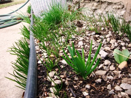 Chives, green onions, and weeds return.