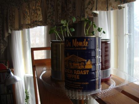 Radishes in coffee cans - Chuck's suggestion.