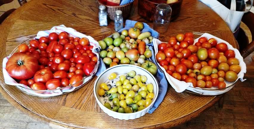 Tomatoes - enough to make salsa