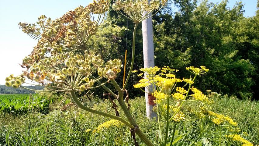 Flowers on the right, gone to seed on the left.